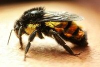 Patrones a gran escala de distribución de parásitos en abejorros mexicanos.